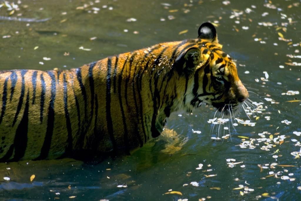 Tiger i vand