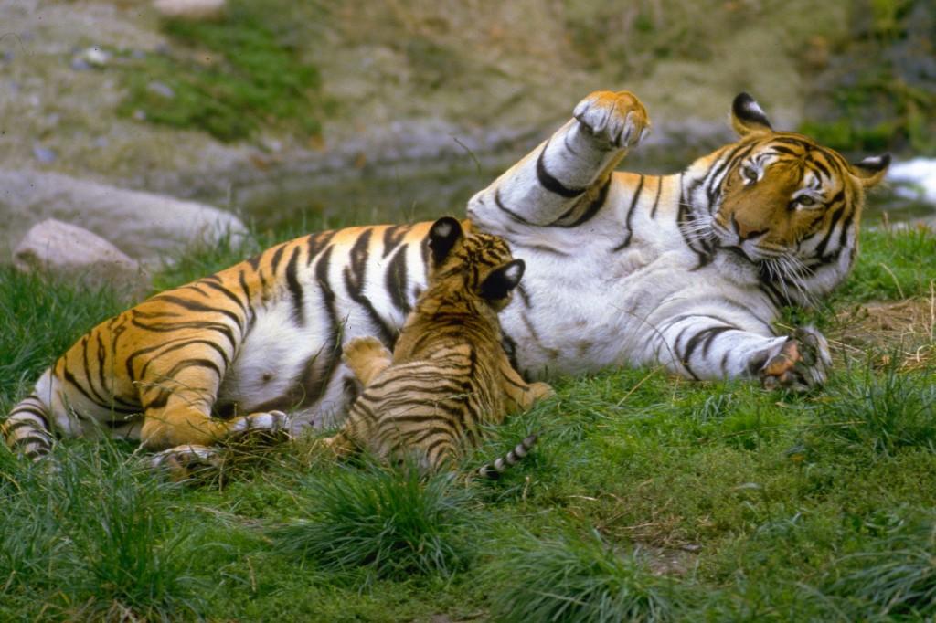 5285C-Tiger-med-unger-3900-IMG0001