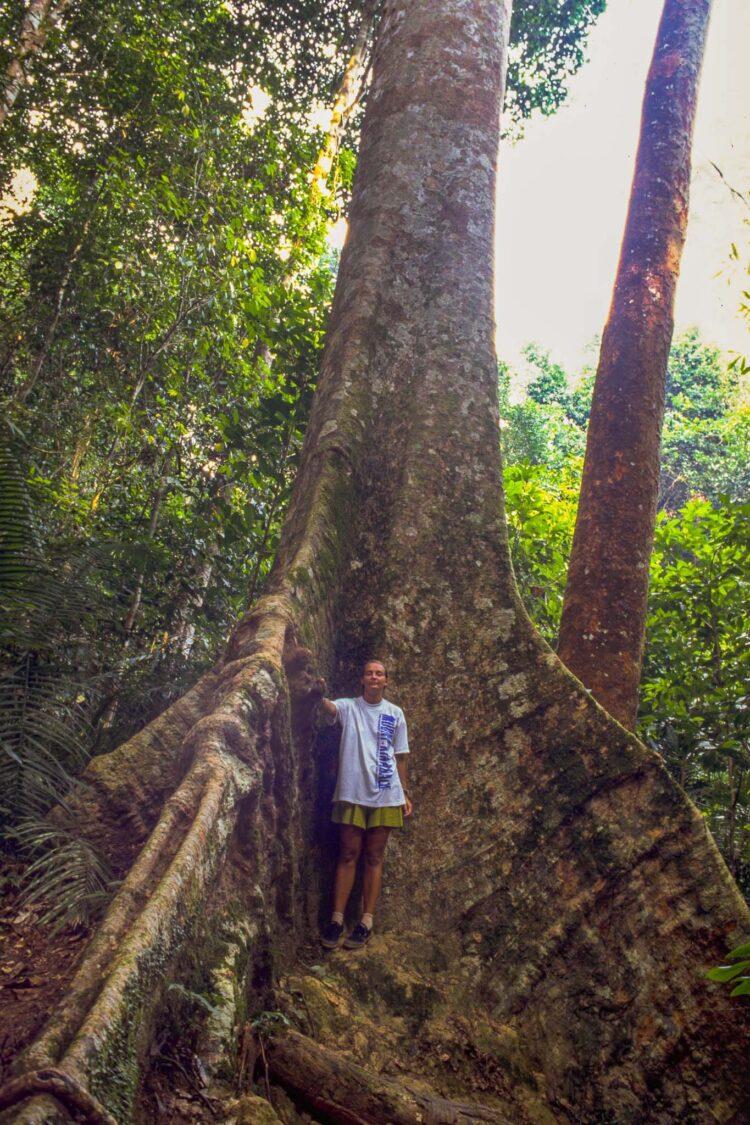 Et typisk regnskovstræ