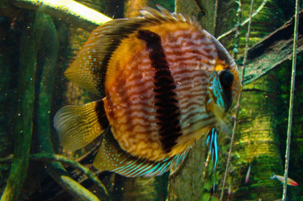 5250-Discusfisk-Symphysodon-fisk-2-RT2880