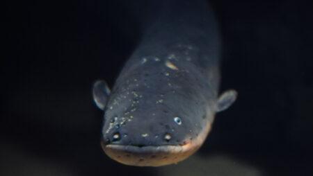 Elektrisk ål
