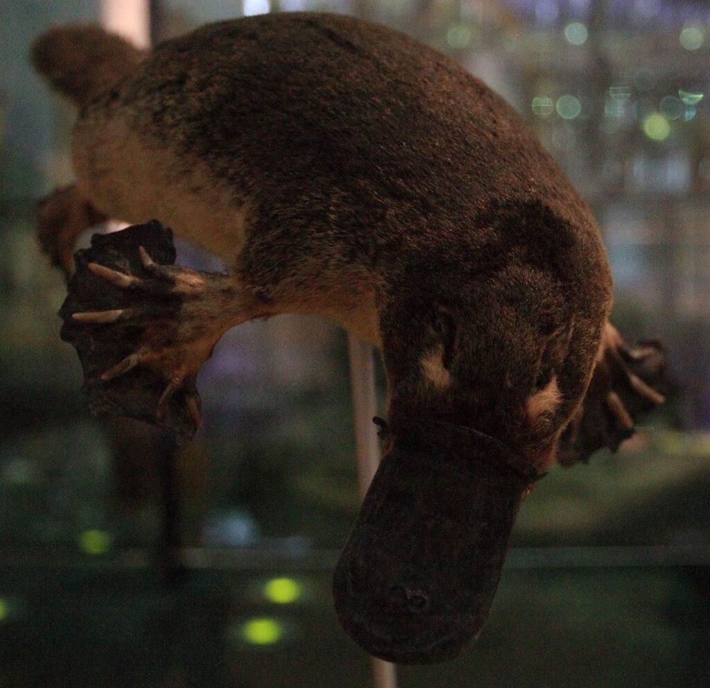 5281B-næbdyret-Platypus-2-2