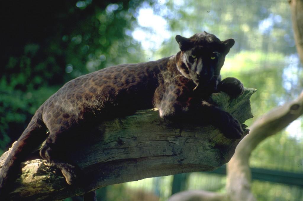 5286B - Leopard (Panter) 1456-IMG0027
