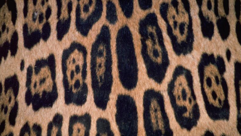 Jaguar og leopard pletter