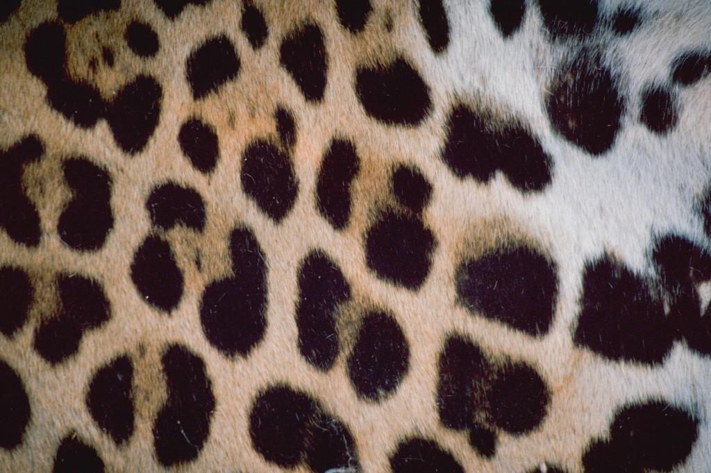 B Leopard IMG RT