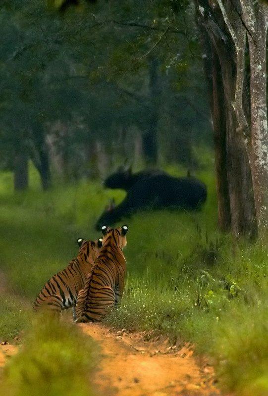 5296c-Gauer-okse-Bos gaurus-tigere-fotograf-Yathin