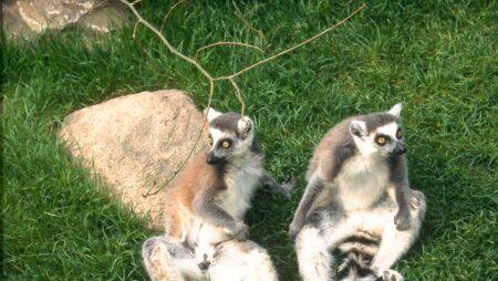 Katta-lemur