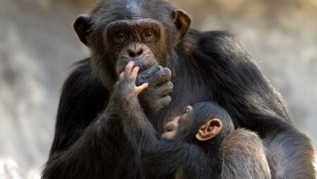 Chimpanse i Afrika