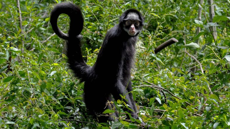 Primater i Sydamerika