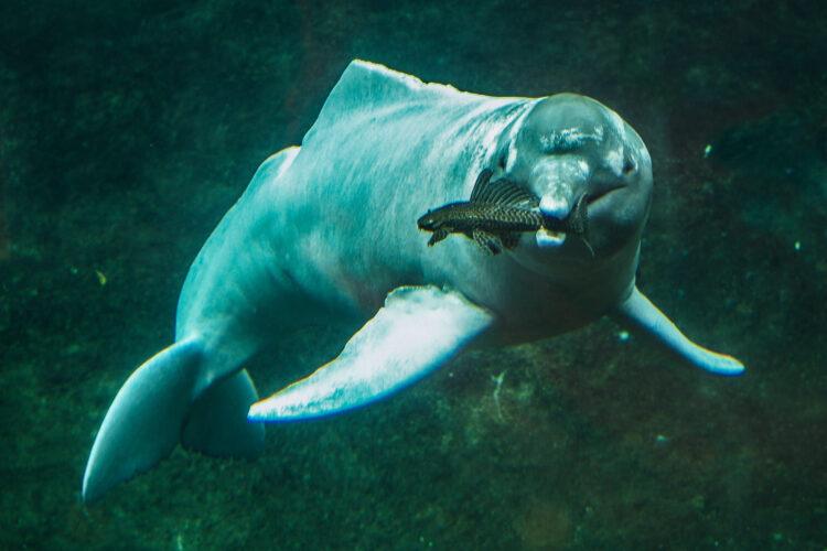 Floddelfin