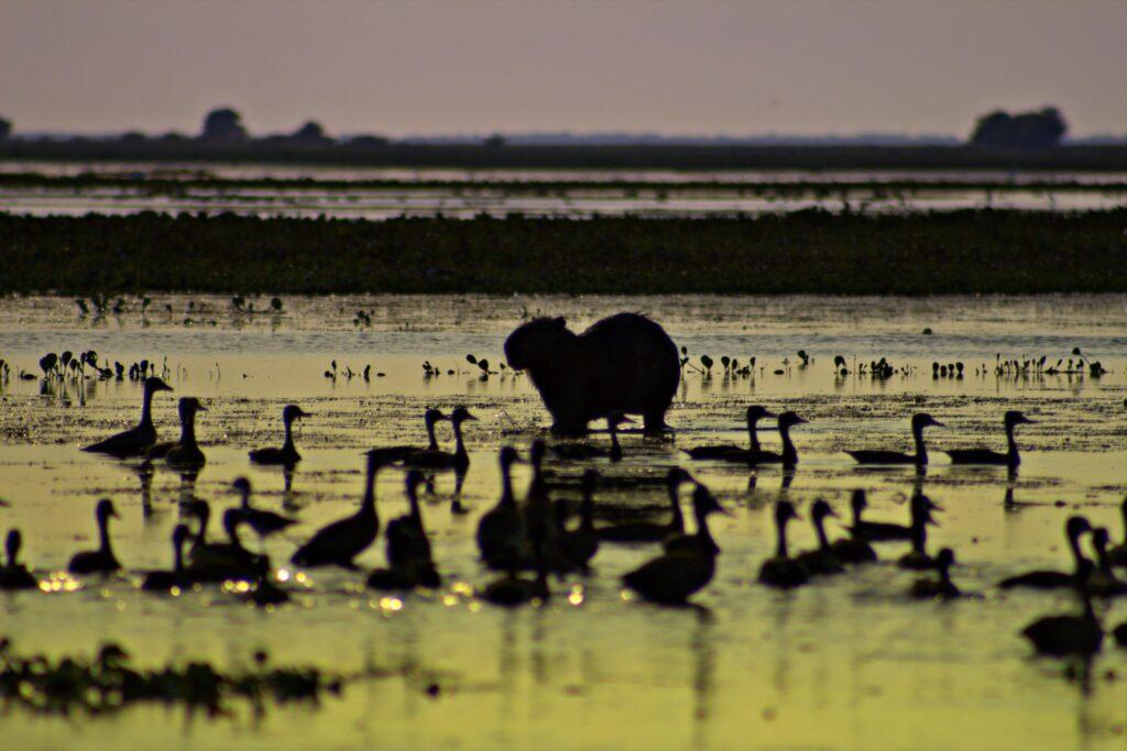 Kapivar (flodsvin) i køler sig af i søren (Capybara)