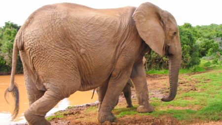 Hun-elefant
