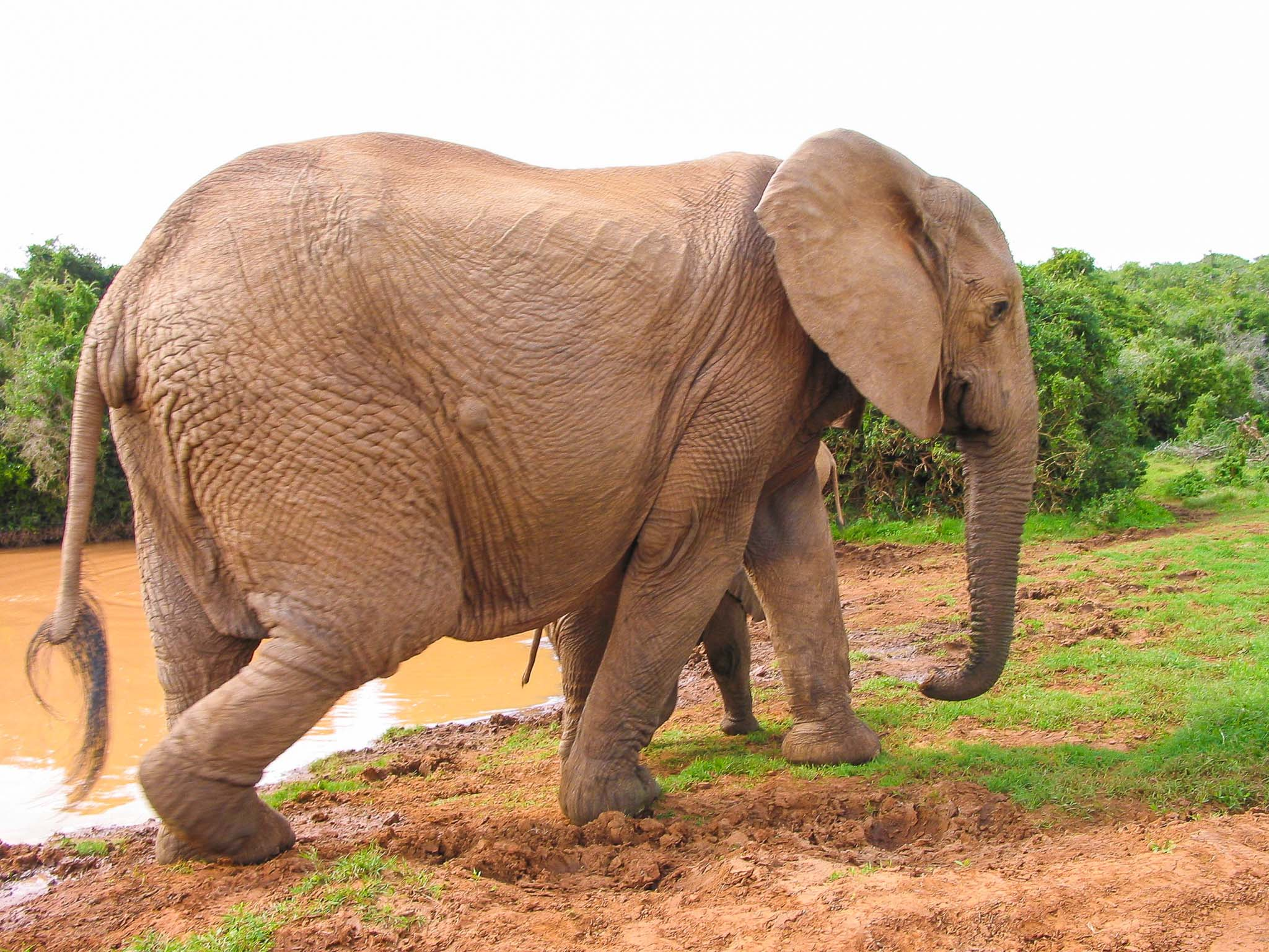 Subaru Lease Norwich >> Elephant Planter. Hun Elefant. Yucca Elephantipes Sp Giant Terre Lointaine. Yucca : Planter Et ...