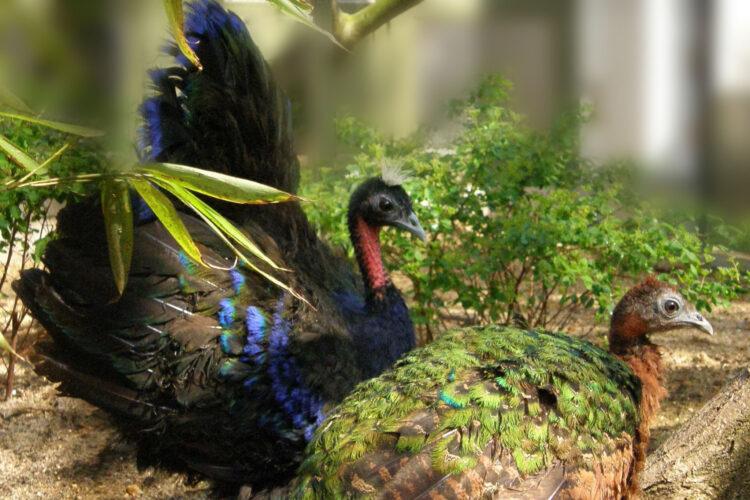 Congopåfugl i Afrika