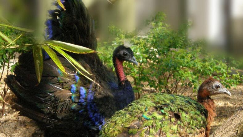 Congopåfugl