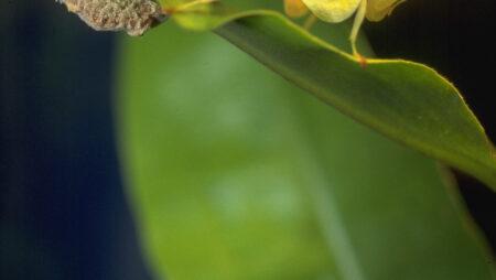 Orkideknæler