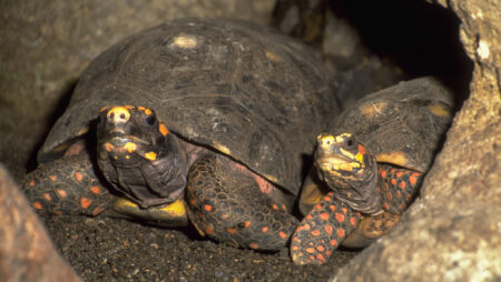 Skovskildpadde
