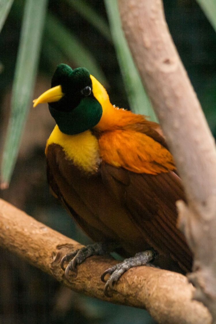 Paradisfugle i de lavere træer
