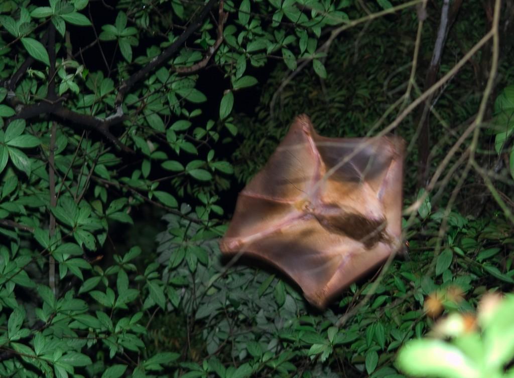 Kaguan flyvende lemur Dermoptera