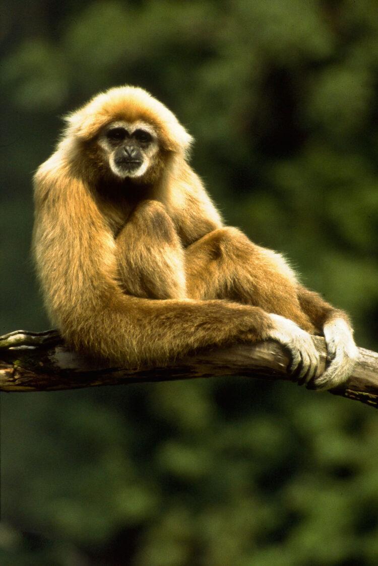 Gibbon imellem trækronerne