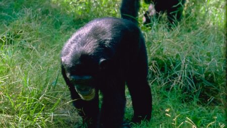 Chimpanser i de lavere træer
