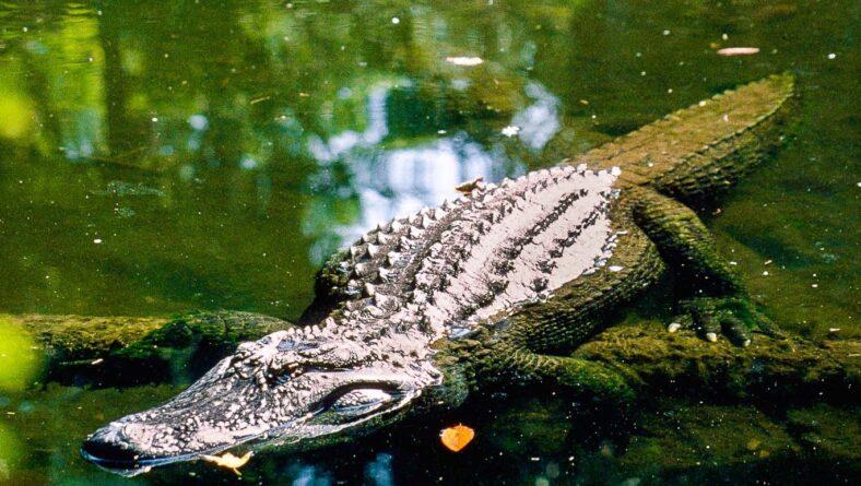 Krokodiller i mangrove