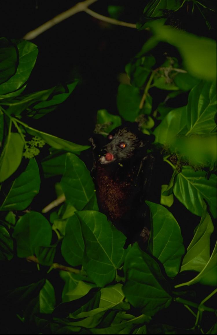 Storflagermus som frugtædere