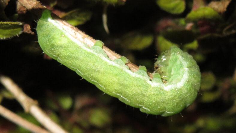 Larver som bladædere