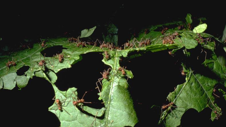 Bladskæremyre som bladædere