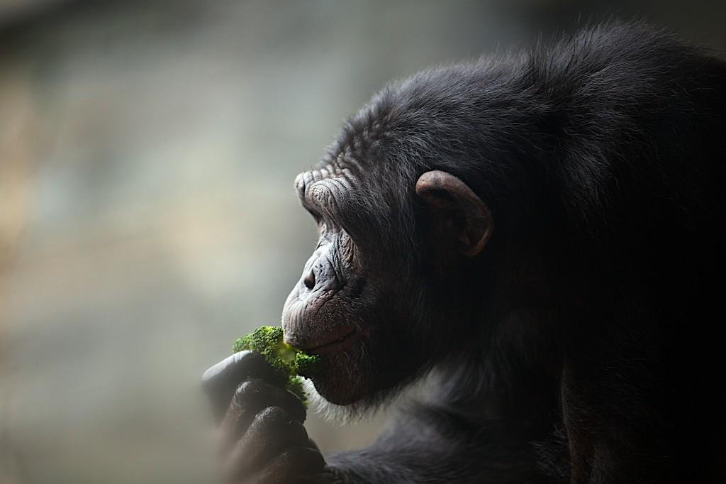 altæder chimpanse RT
