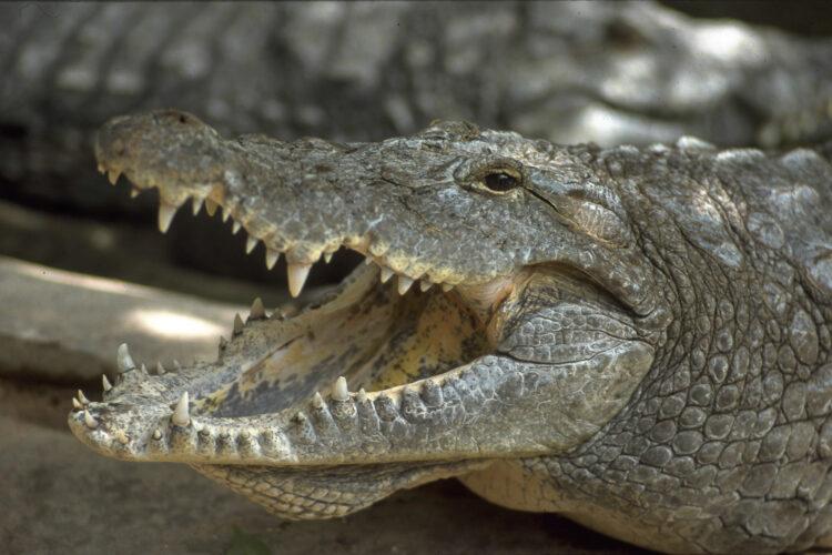 Krokodiller som rovdyr