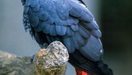 Truede papegøjer