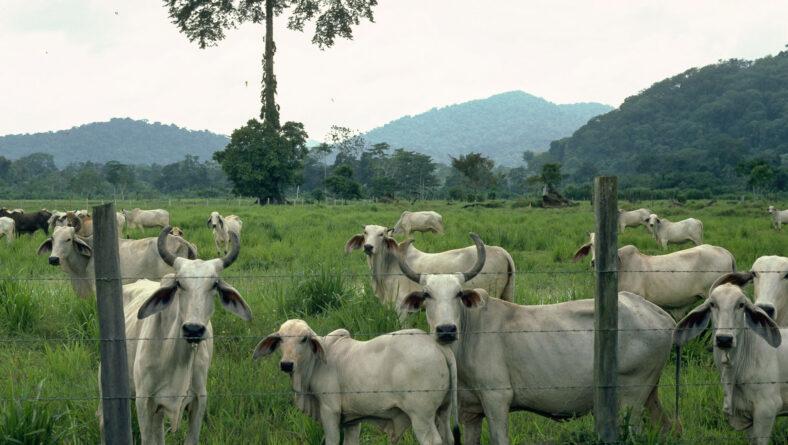 Kvægdriver i Brasilien