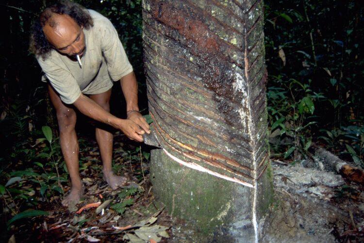 Gummitapperen i Brasilien