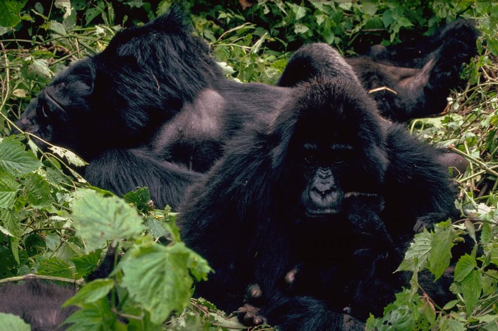 Gorillaer-0223-IMG0025