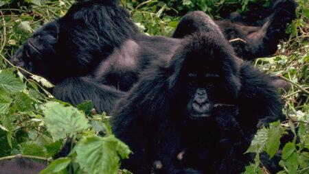Gorillaernes liv i skovbunden