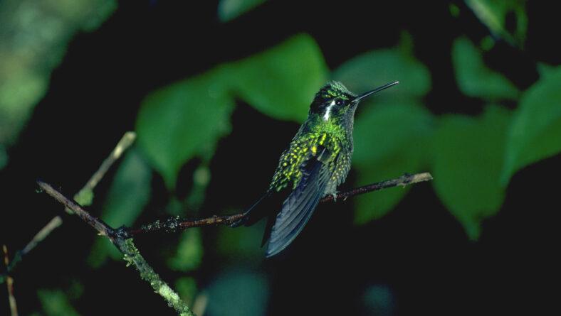 Kolibri i Sydamerika