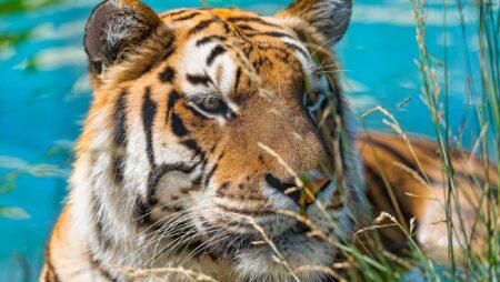 Truede tigre