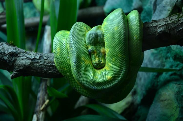 Grøn træpyton som rovdyr