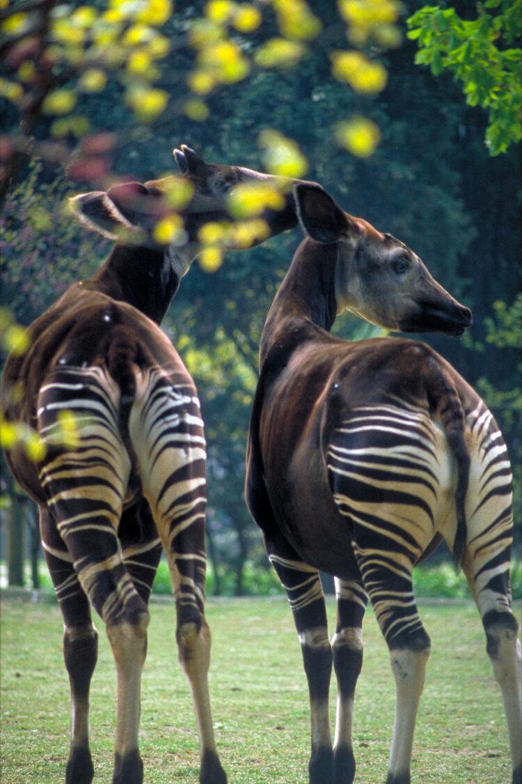 Okapi i Afrika
