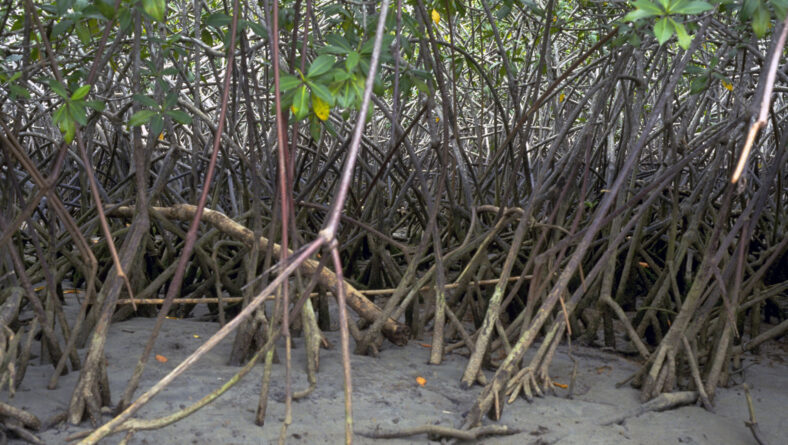 Mangrove regnskove