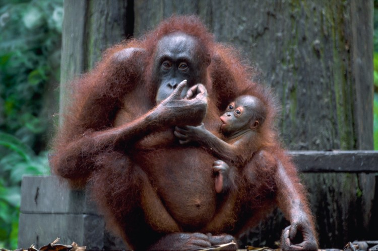 Orangutang'er på Sumatra