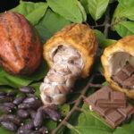 Kakaobønner til kakao og chokolade