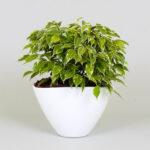 Stuebirk-Ficus-benjamina-max970
