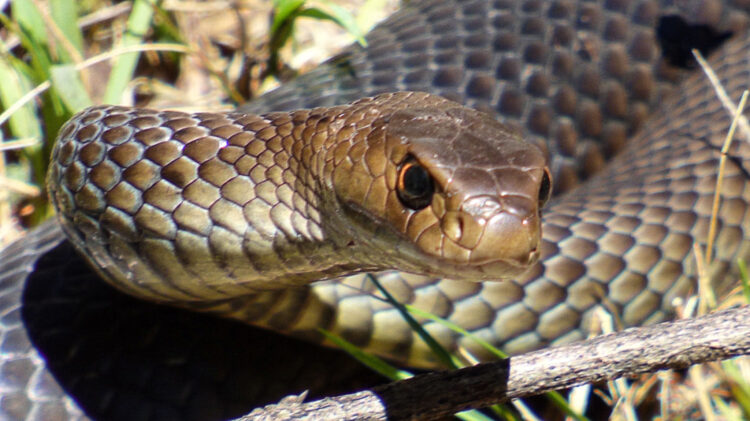 Slanger i Australien