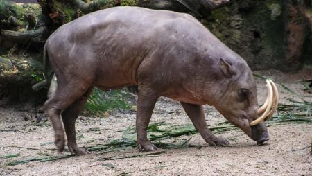Hjortesvin som altæder