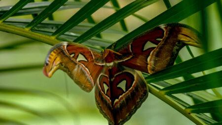 En sommerfuglefarm i Malaysia