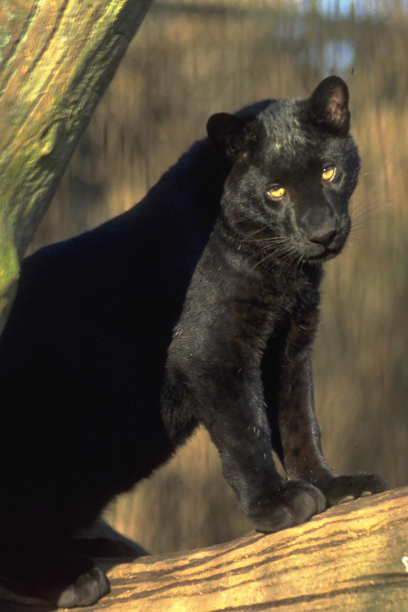 kat der ligner en leopard
